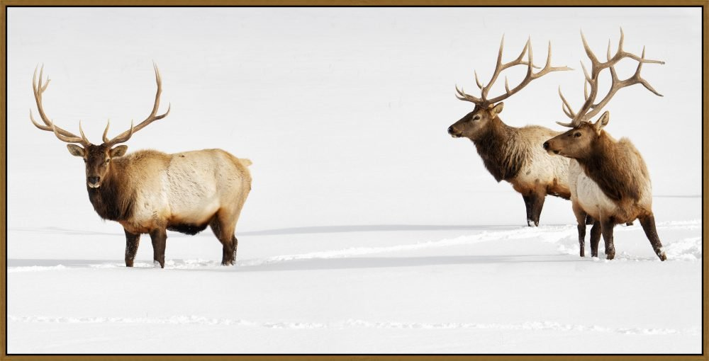 Three Bulls by Curt & Stacy Howell
